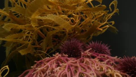 california purple sea urchins crawl over kelp roots. available in hd. - ウニ点の映像素材/bロール