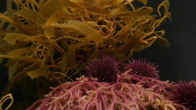 california purple sea urchins crawl over kelp roots. available in hd. - ricci di mare video stock e b–roll