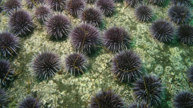 california purple sea urchins crawl over the ocean floor. available in hd. - channel islands california stock videos & royalty-free footage