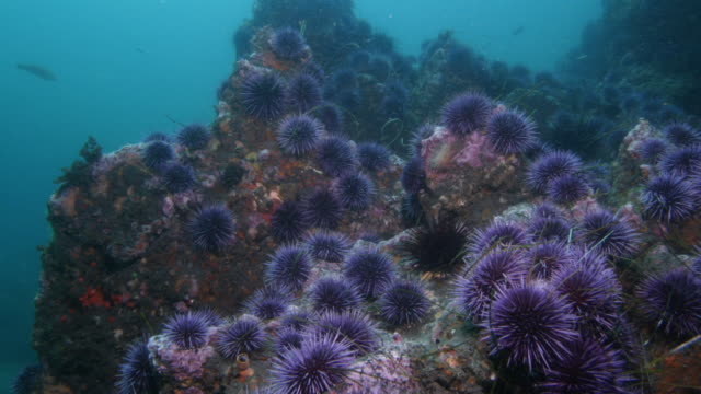california purple sea urchins on sea bed. available in hd. - ricci di mare video stock e b–roll