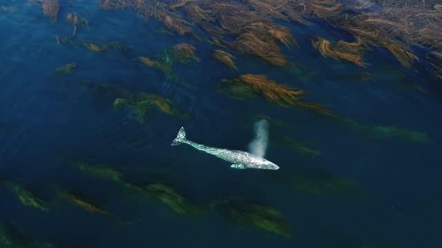 california resident mark girardeau captured video of a gray whale swimming through kelp off laguna beach on super bowl sunday. mark girardeau is a... - laguna beach california stock videos & royalty-free footage