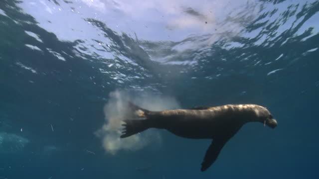 california sea lion swimming (zalophus californianus) and excreting, sea of cortez, mexico - sea lion stock videos & royalty-free footage