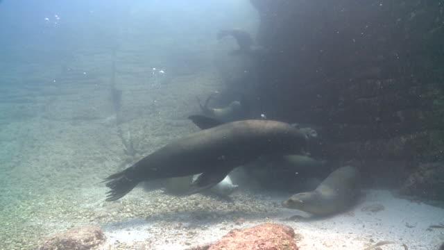 california sea lion (zalophus californianus) swimming into blue ocean, sea of cortez, mexico - schnurrhaar stock-videos und b-roll-filmmaterial