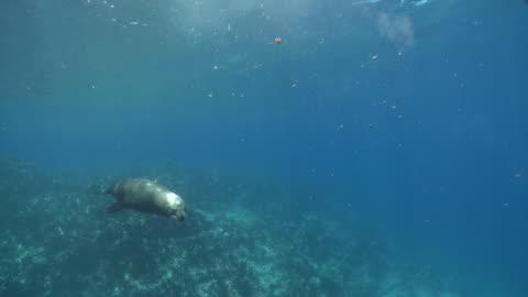 california sea lion (zalophus californianus) swims pass several five-banded damselfish (abudefduf vaigiensis), la paz, sea of cortez, mexico - damselfish stock videos & royalty-free footage