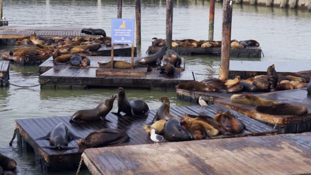 stockvideo's en b-roll-footage met california sea lions at pier 39 - san francisco - pier 39