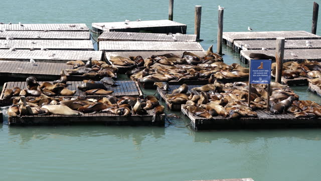 california sea lions hauling out on docks as california plans to fully reopen its economy, in san francisco, ca, u.s., on thursday, april 8, 2021.... - large group of animals stock videos & royalty-free footage