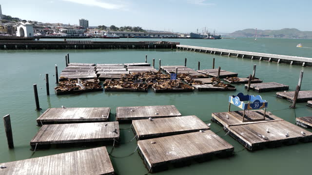 california sea lions hauling out on docks at pier 39 as california plans to fully reopen its economy, in san francisco, ca, u.s., on thursday, april... - sea lion stock videos & royalty-free footage