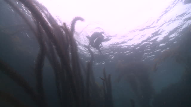 vídeos y material grabado en eventos de stock de california sea lions (zalophus californianus) play at surface - distant backlit  - grupo mediano de animales