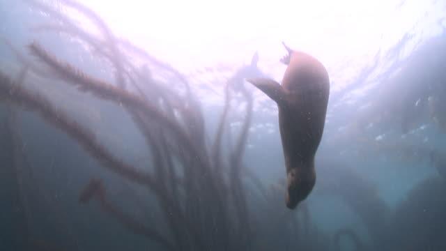 vídeos y material grabado en eventos de stock de california sea lions (zalophus californianus) playfight on sea bottom and swim up to surface  - grupo mediano de animales