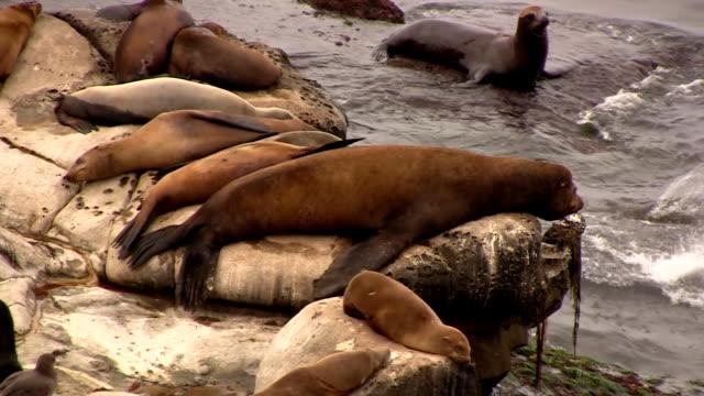 California Sea Lions Sleeping on Rocks