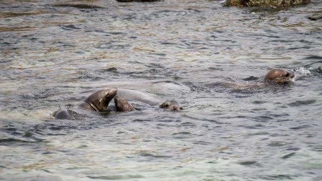 vídeos de stock e filmes b-roll de california sea lions - leão marinho