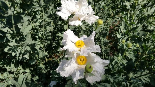 vídeos de stock e filmes b-roll de 4k california tree poppy - pistilo