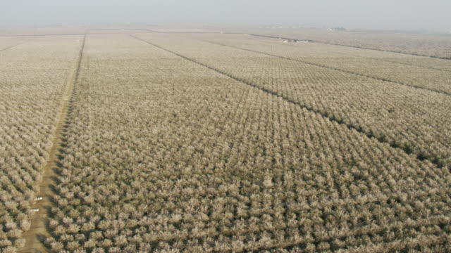 usa, california: wide shot of almond trees fields - almond stock videos & royalty-free footage