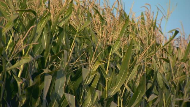 california, yosemiteclose up on corn stalks - tassel stock videos & royalty-free footage