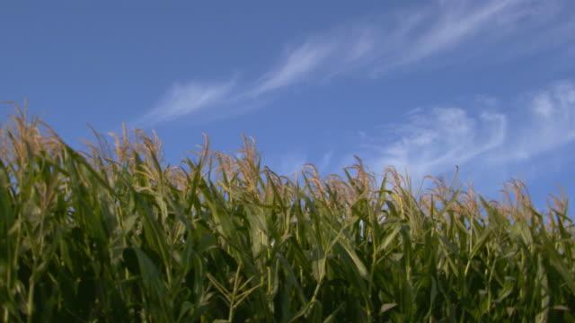california, yosemitetops of corn stalks - tassel stock videos & royalty-free footage