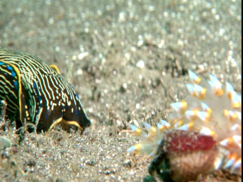 a californian aglaja follows a sea slug forage along a sandy seabed. - nudibranch stock videos & royalty-free footage