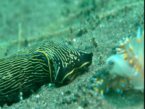 A californian aglaja hunts a sea slug along a sandy seabed.
