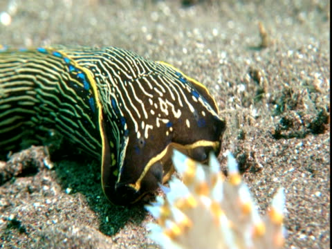 a californian aglaja hunts a sea slug on a sandy seabed. - nudibranch stock videos & royalty-free footage