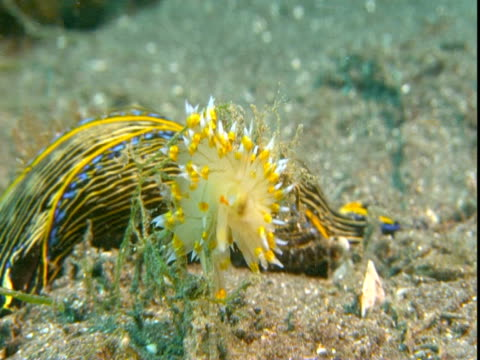 a californian aglaja hunts a sea slug. - nudibranch stock videos & royalty-free footage