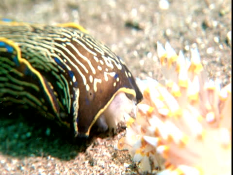 californian aglaja hunts nudibranch by following slime trail. - nudibranch stock videos & royalty-free footage