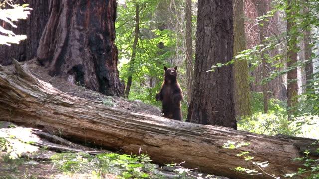vídeos y material grabado en eventos de stock de hd: bear de california - parque nacional de secoya