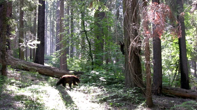 hd: californian bears - sequoia national park stock videos & royalty-free footage