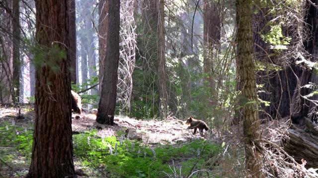 hd: californian bears - sequoia stock videos & royalty-free footage