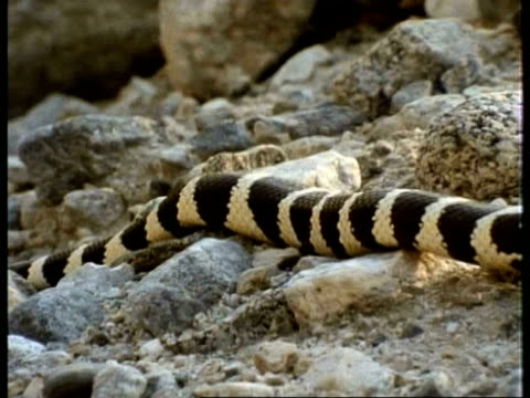 ms californian kingsnake, lampropeltis getula californiae, yellow and black stripes, moving down over rocky ridge, goes for a drink, edited sequence, usa; sequence of clips, special terms apply - 長さ点の映像素材/bロール