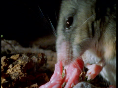 californian mouse licks baby in burrow, california - babyhood stock videos & royalty-free footage