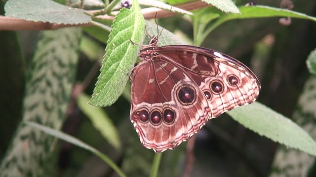vídeos de stock e filmes b-roll de caligo memnon borboleta - invertebrado