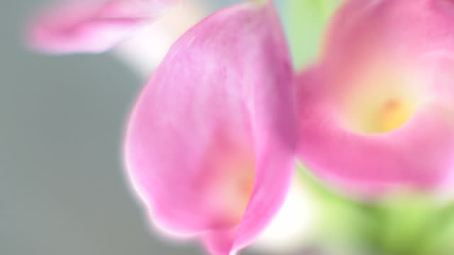 ecu calla lily flowers / new york, new york, usa - オランダカイウユリ点の映像素材/bロール