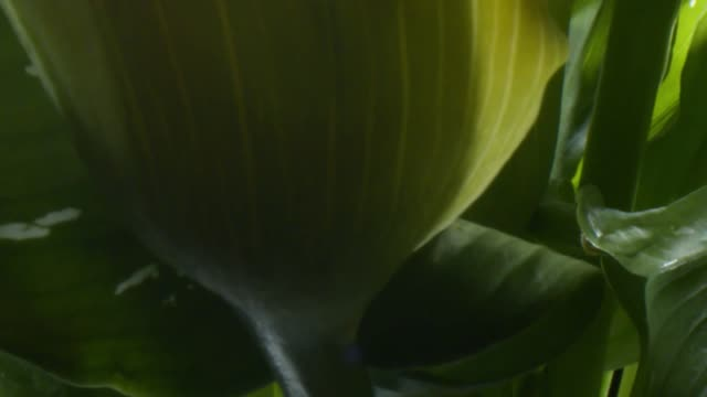 calla lily - saturated colour stock videos & royalty-free footage