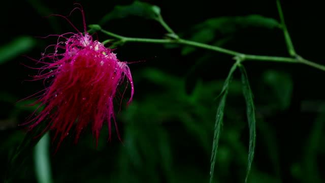 calliandra flower, (calliandra haematocephala) - flowering plant stock videos & royalty-free footage
