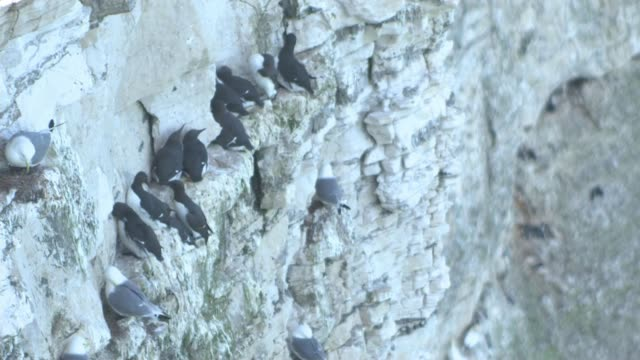 rspb calls on birdwatchers to help track puffin decline england yorkshire chalk cliffs ext general view cliff face with sea birds flying around... - bird watching stock videos & royalty-free footage