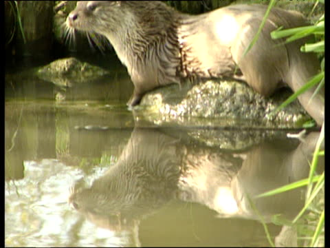 calm muddy river tilt up to wild otter on rock - europäischer fischotter stock-videos und b-roll-filmmaterial