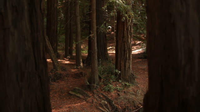 calm redwood grove - sequoia stock videos & royalty-free footage