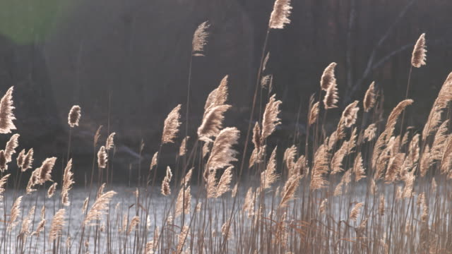 calm reeds on saltwater pond, slow pan. - vector stock videos & royalty-free footage
