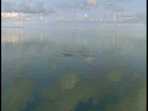 vídeos y material grabado en eventos de stock de calm waters reflect fluffy clouds where a few atlantic tarpon surface, creating ripples. - salir del agua