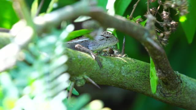 vídeos de stock, filmes e b-roll de calotes versicolor lagarto na filial - ilhas mascarene