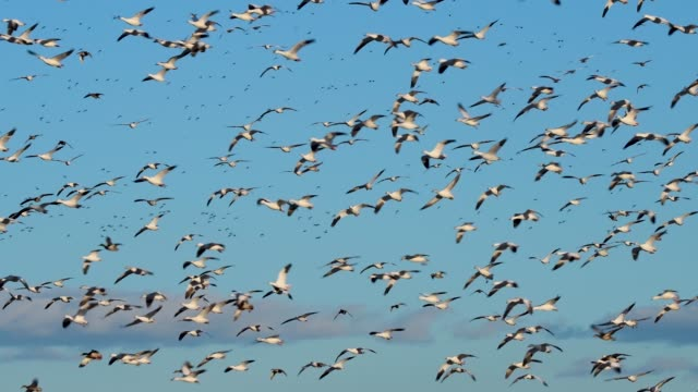 caludron of snow geese and ducks over bosque del apache nwr - flock of birds stock videos & royalty-free footage