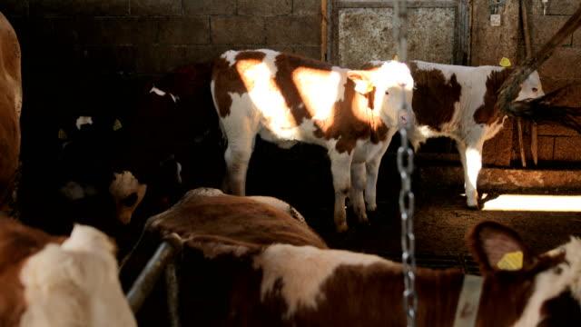 vídeos de stock e filmes b-roll de calves and cows - casa de quinta