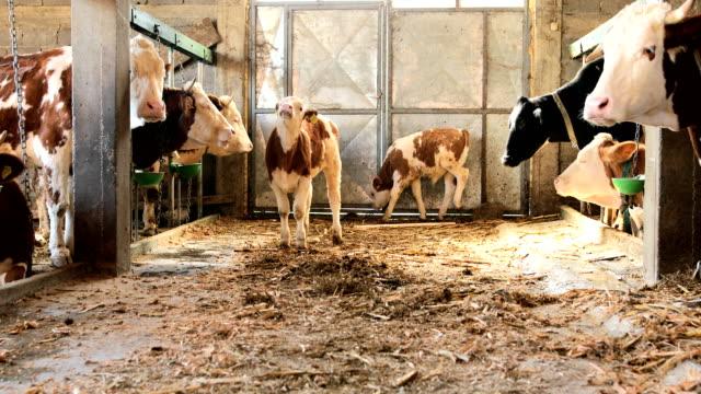 vidéos et rushes de mollets et vaches - couleur et motif du pelage