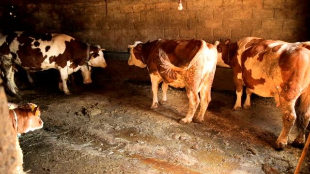 Calves and Cows