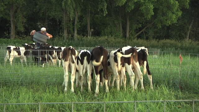MS SLO MO Calves fenced in organic pasture consuming milk / Columbus, Wisconsin, USA