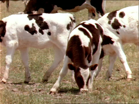 calves graze in a grassy field. - hooved animal stock videos & royalty-free footage