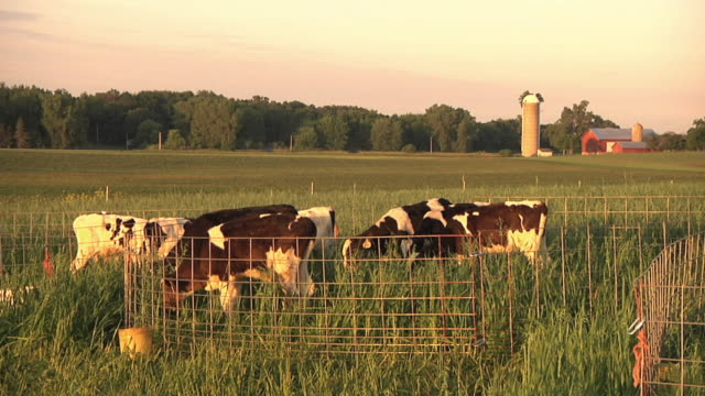 ws calves grazing in organic pasture / columbus, wisconsin, usa - wisconsin video stock e b–roll