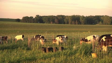 ws pan slo mo calves grazing in organic pasture / columbus, wisconsin, usa - grazing stock videos & royalty-free footage