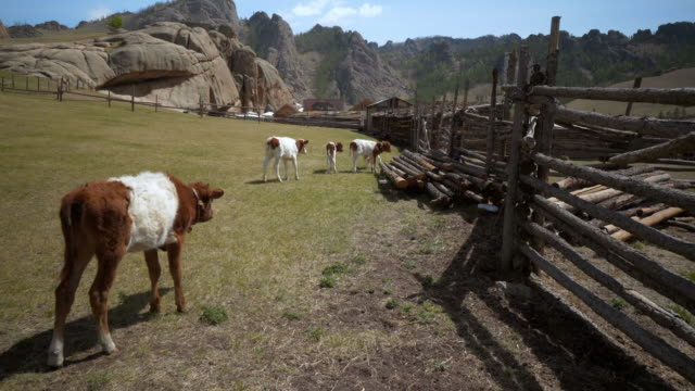calves in animal pen against rocky mountains - ulaanbaatar, mongolia - animal pen stock videos & royalty-free footage