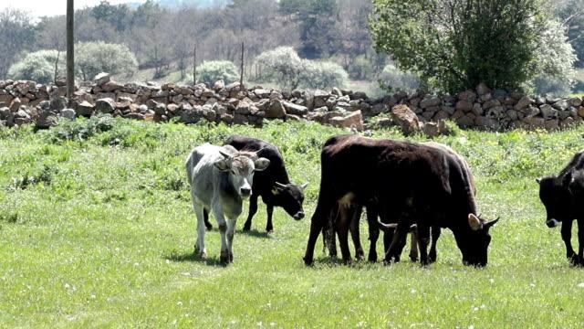 vídeos de stock e filmes b-roll de hd: vitelos - touro animal macho