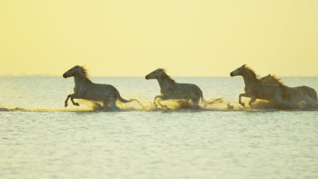camargue animal horses france running sunrise mediterranean wildlife - gallop animal gait stock videos & royalty-free footage
